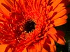 Gerbera (mehunter) Tags: 45mm africandaisy leicadgmacroelmarit45f28 panasoniclumixg7 flora flower gerbera indoor plant
