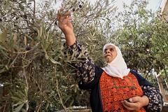 Jerusalem - My Beautiful Olives... (TeamPalestina) Tags: palestinian sunrise sweet beautiful heritage live sunrays photo photographer comfort natural  palestine nice am amazing jerusalem hebron occupation blockade hope eyes