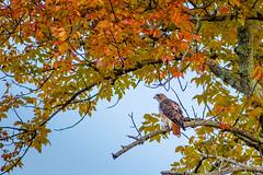 Red-Tailed Hawk (Michael Bateman) Tags: bird birdraptor fall redtailedhawk wildlife kinnelon newjersey unitedstates us