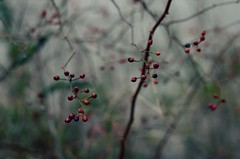 Berry (LeanneRichelle) Tags: berries berry bokeh cute red brown autumn fall weeds plants planties river water cold winter wintery
