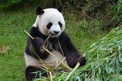 Panda (dfromonteil) Tags: panda black white djeuner lunch green vert nature animal bambou bamboo wow