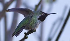 Annas Hummingbird (juvethski) Tags: park nature beautiful vancouver canon eos colorful pretty hummingbird vibrant awesome columbia richmond best 7d burnaby british f56 annas ef 400mm