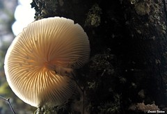 (Lorenis Inidem) Tags: madrid autumn naturaleza white musgo blanco nature mushroom forest canon mushrooms eos moss woods pic fungi bosque brunch fields otoo seta autumnal setas natureshot brunches