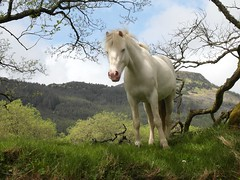 Curious Horse. (Flyingpast) Tags: blue trees sky horse pet white nature beauty animal clouds walking outdoors scotland countryside eyes scenery perthshire scottish hills stare curious trossachs magnificent animalkingdom planetearth strathyre beautifulhorse wb2000 tl350