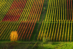 Autumn Lines in the Vineyard (Batikart) Tags: november autumn trees red orange plants plant green fall nature colors grass leaves lines yellow rural canon germany landscape geotagged outdoors deutschland leaf vines europa europe seasons quilt wine stripes patterns hill felder foliage growth vineyards grapes repetition fields greenery vin agriculture patchwork multicolored ursula bltter 500faves grape variation rolling indiansummer wein weinberg sander g11 2014 vogelperspektive fruittrees badenwrttemberg herbstfrbung 100faves 200faves weinstadt birdseyeperspective strmpfelbach 300faves 400faves 600faves batikart 900faves 700faves 800faves ursulasander canonpowershotg11
