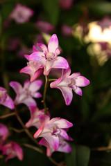 Dendrobium kingianum (betadecay2000) Tags: pink plant flower fleur asia asien pflanze rosa australia bloom asie australien dendrobium blüte weis tropen tropisch epiphyt kingianum dendrobiumkingianum aufsitzerpflanze epipyten