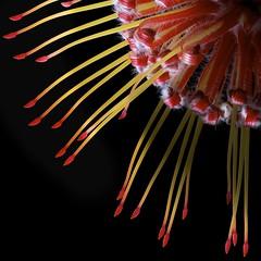 Protea quarter (Pixel Fusion) Tags: flower macro nature flora nikon protea d600