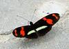 Cherry-barred Heliconian (Heliconius telesiphe sotericus), Guacamayos, Ecuador (Terathopius) Tags: ecuador nymphalidae guacamayos cherrybarredheliconian heliconiustelesiphesotericus