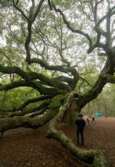 Charleston Angel Oak (Jeremy.Fox) Tags: beautiful angel oak south charleston carolina awendaw