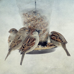 "Feeder Frenzy (DigiDi) Tags: winter texture birds backyard sparrows digidi magicunicornverybest magicunicornmasterpieces untouchabledream ""sweetfreedom"""