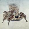 "Feeder Frenzy (DigiDi) Tags: winter texture birds backyard sparrows digidi magicunicornverybest magicunicornmasterpieces untouchabledream ""sweetfreedom"""