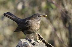 merlo - DSC_2238 (Maurizio Beghelli) Tags: uccelli 2015 nikkor300f4d nikond7000 sicoasimanzolinotivoli