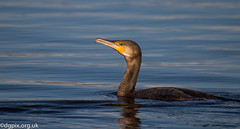 Cormorant (Danny Gibson) Tags: winter lake bird water birds fishing birding cormorant aquatic avian wader canoneos7d dgpixorguk