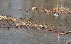 Mallard on Shoal Creek (Adventurer Dustin Holmes) Tags: bird nature water birds animal animals outdoors duck wildlife missouri mallard waterfowl ozarks shoalcreek