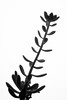Crassula Ovata (Christian González Verón) Tags: macro succulent crassula suculenta ovata