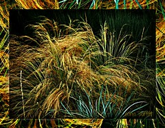 grasses (Sonja Parfitt) Tags: photomanipulation framed grasses layered