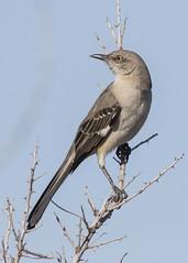 156 (JME_Photos) Tags: nature birds canon wildlife nevada flight henderson 400mm