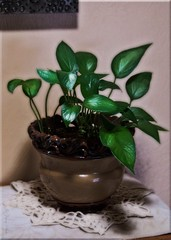 The Flickr Lounge-Pothos Ivy (Jo-I Have A New Group!) Tags: brown green ivy pot lowkey foyer doily ontheshelf pothos