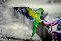 Red beak Parrot (Tom Fezz) Tags: birds parrot wildelife redbeak tomferrier