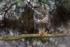 Common Buzzard, (spw6156 - Over 4,880,054 Views) Tags: copyright for steve hunting bbc frogs cropped buzzard common buteobuteo waterhouse signsofspring mywinter