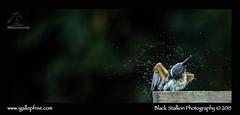 Sacred Kingfisher 20 (Black Stallion Photography) Tags: newzealand black green bird water photography drops wildlife beak feathers cream dry off kingfisher sacred perch stallion nzbirds igallopfree