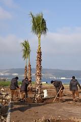aliaga-Aliaga Palmiye aalar ile donatlyor (6) (aliagabelediyesi) Tags: ile palmiye aliaa aalari donatiliyor