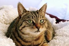(evakatharina12) Tags: pet face cat bed eyes tabby panasonic katze cc700 fz1000