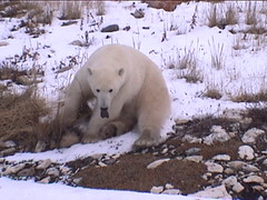 Polar Bear Churchill 6