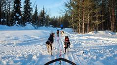 Husky riding in Levi (chez white) Tags: snow husky lappland levi lappi