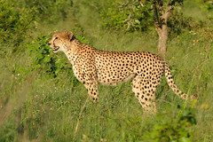 Cheetah (Acinonyx jubatus) (berniedup) Tags: southafrica cheetah kruger acinonyxjubatus lowersabie taxonomy:binomial=acinonyxjubatus