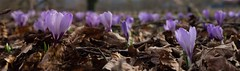 They come with the sun (flickrolf) Tags: wild sun spring purple pano crocus