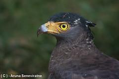 Crested Serpent Eagle (ArunaSene) Tags: crestedserpenteagle spilornischeela wilpattu birds wildlife arunasene arunaseneviratne avian srilanka safari