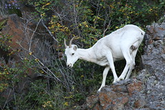 Dall Sheep Ewe With Full Udder (AlaskaFreezeFrame) Tags: dall dallsheep horns alaska alaskafreezeframe canon 70200mm outdoors nature wildlife mammals mountains fall climbing herbivores ewe lamb baby agile ewes