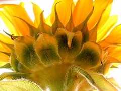 Sunflower in the sun (M. Carpentier) Tags: fleurs fleur flowers flower sunflower tournesol sun soleil jaune yellow green vert brilliant