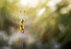 Libelloides macaronius III. (Inspiring Nature Photography) Tags: macro nature insect bokeh flare macrophotography oreston owlfly oreston50mm meyeroptikgrlitz libelloidesmacaronius bokehphotography rablpille orestonf1850mm