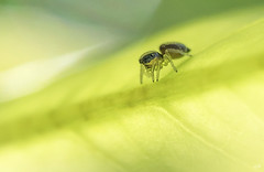 Araigne saltique  contre jour (2). (gille33) Tags: gillesremus nature macro insecte insect insectes araneae arachnide araignee araigne nikond810 sigma150