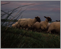 sheeps on the run (Erik v Hassel) Tags: haps erikhaps nikon d5100 nederland holland dutch beautiful fraai excellent flickr view splendid beauty best wonderful fantastic awesome stunning incredible magic nice perfect photo image shot foto lovely
