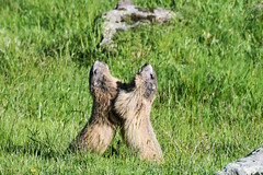 Jeux de marmottes (quercyanimalier) Tags: marmotte jeux marmota