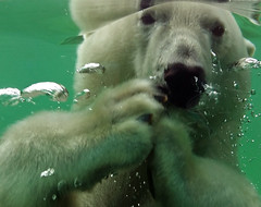 Polarbear (Rene Mensen) Tags: polarbear bear wildlands emmen drenthe thenetherlands holland closeup rene mensen dunja
