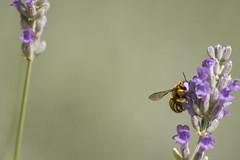 _MG_1798 (Arthur Pontes) Tags: flower green primavera nature field insect spring natureza flor deep bee abelha mosquito inseto campo deepoffield lavanda plem