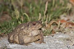 Sapo-comum  -  Common toad (Bufo bufo), em NF37-Trofa (joelcsilva) Tags: portugal nature photography wildlife natureza nocturna fotografia amphibians nocturn bufobufo anfibios vidaselvagem trofa commontoad canon400mmf56 sapocomum canon40d joelsilva