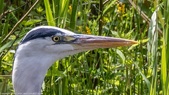 9Q6A2491 (2) (Alinbidford) Tags: heron kingfisher muteswan moorhen greyheron brandonmarsh alancurtis pairofkingfishers alinbidford