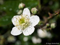 Bramble (Roger B.) Tags: flower unitedkingdom sheffield wildflower bramble southyorkshire rubus rubusfruticosus