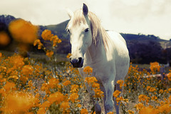 White horse in orange Eden (N i n f a s d e l v i e n t o ) Tags: horse organe animal animals summer beautiful love sweet cute garden nature plants photo photography costarica latinamerica white amazing stuning america sweetheart smoothie smooth soft warm filter mountain country countryside volcano
