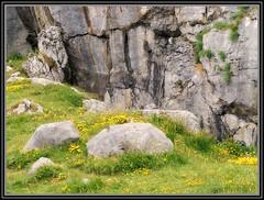 Nature's own rock garden (Maewynia) Tags: ireland cliff flower june yellow stones rockface tours 2016 birdsfoottrefoil celtica