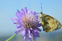 papillon Demi-Deuil (Laurent M. Photos) Tags: macro animal butterfly nikon champs des papillon extrieur insecte macrophotography lpidoptre knautie
