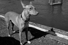 Dog (caracir) Tags: dog animals port river blacknwhite riv xpro2