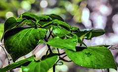 Two Green Geckos (Kiwi-Steve) Tags: nz newzealand nikond90 nikon camouflage greengecko gecko lizard nature