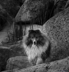 Alice on the rocks (sharken14) Tags: dog nikon sheltie hund svartvitt roslagen shetlandssheepdog