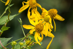 Yellow (Daniel-Godin) Tags: canon7dii danielgodin flower mn miesvilleravineparkreserve minnesota nature outdoor outdoors sigma150600mm flowers daniel godin photography